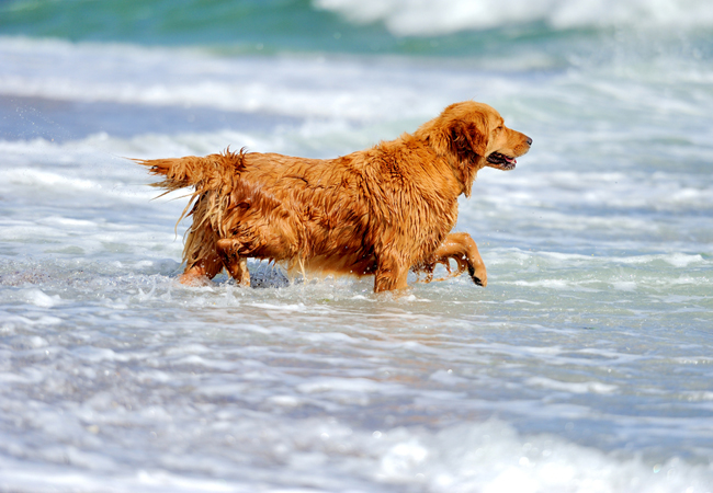 waterpret hond