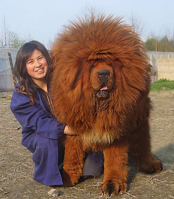 12. Gigantische honden