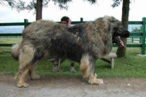 2 gigantische honden