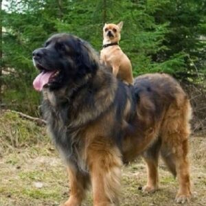7. gigantische honden