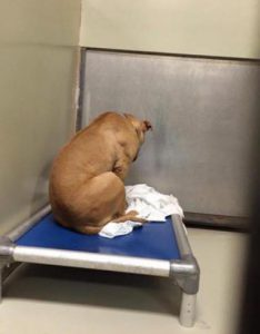 asiel hond pitbul