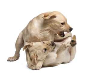 hond zelfde geslacht conflict