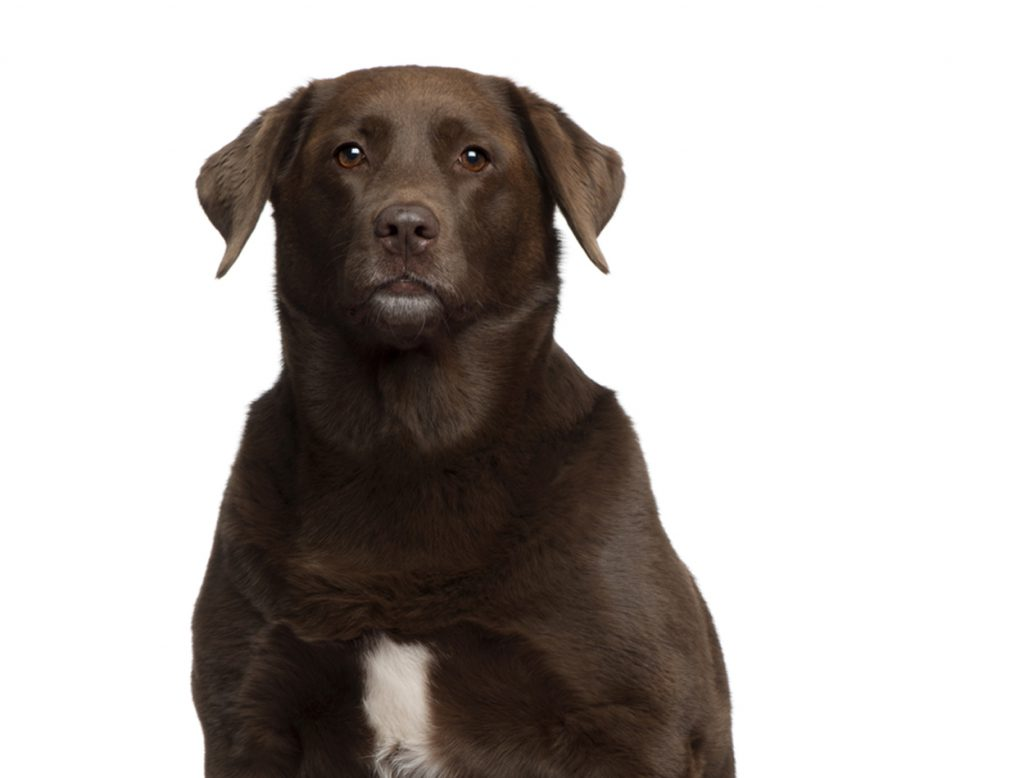 labrador dik overgewicht