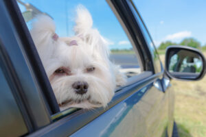 hond auto ogen