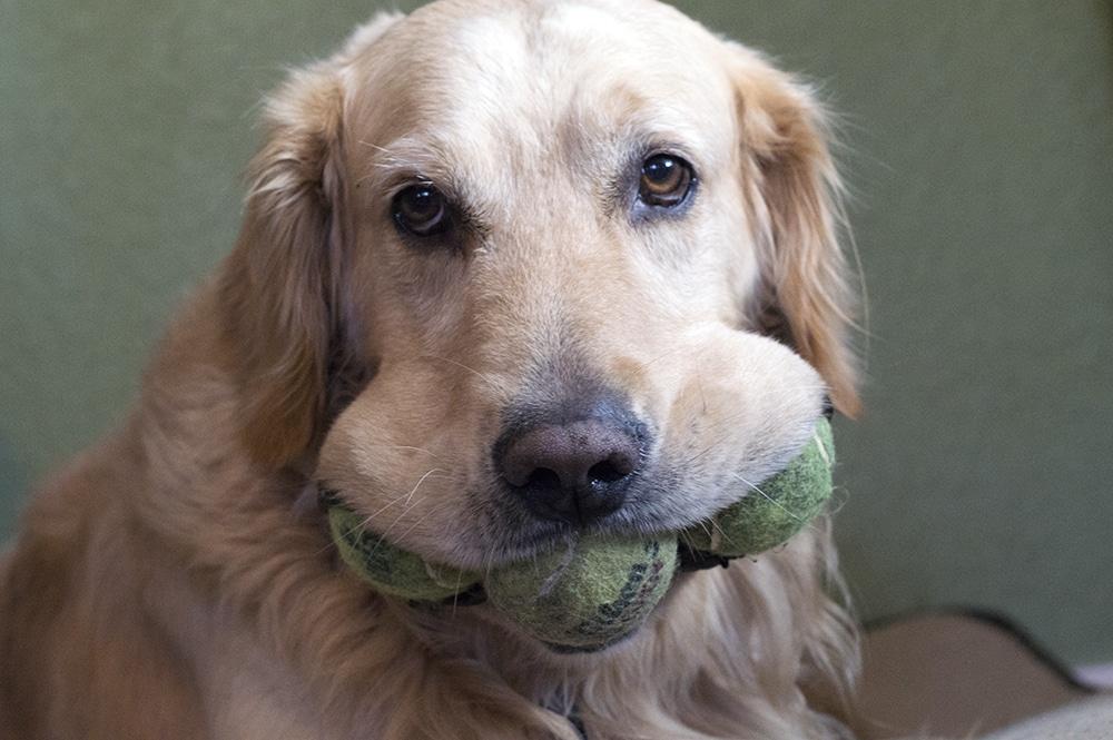 tennisbal golden retriever